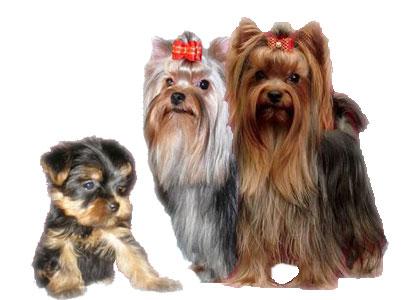 мини терьеры породы собак: